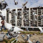 Puii de porumbei, o alta grija a crescatorilor